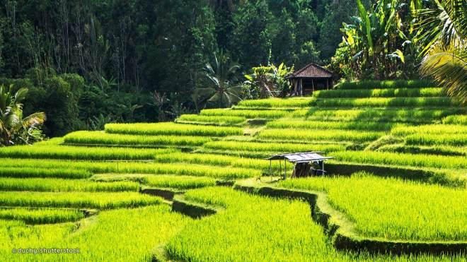 Bali_Rizières de Ubud_Indonesie_lemonandjuice
